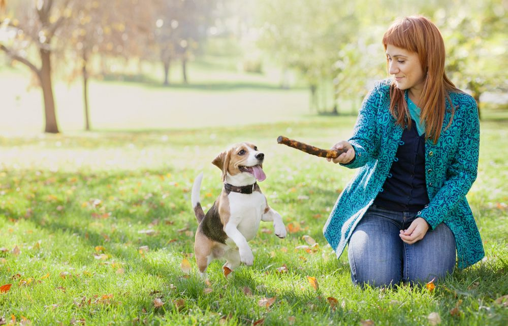 Wie bringe ich meinem Beagle das Apportieren bei?