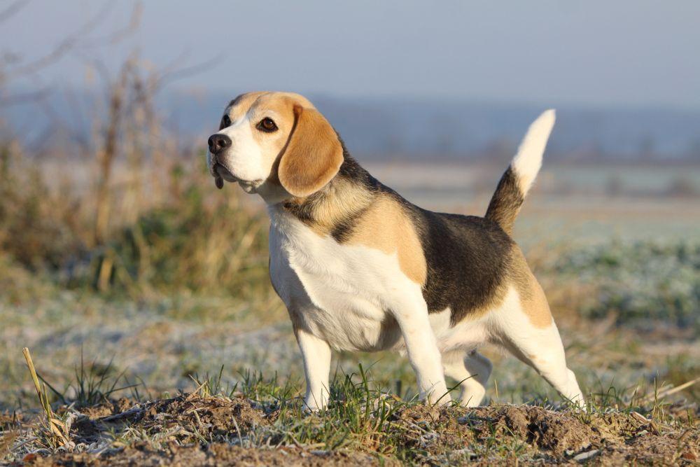 Beagle Charakter
