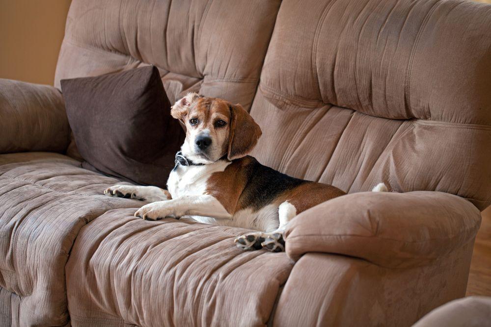 Beagle Erziehung - Wie kriege ich meinen Beagle vom Sofa runter?