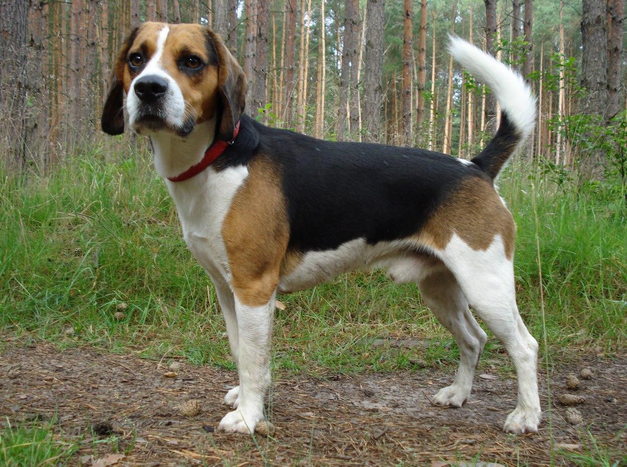 Beagle Mix Beagle Mischling