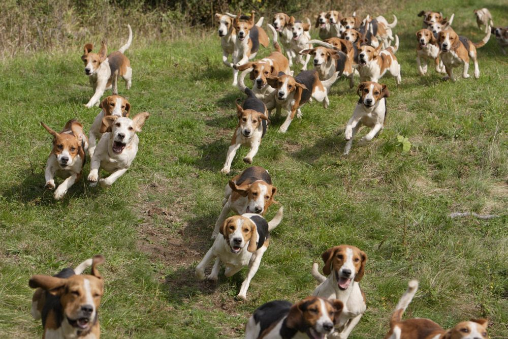 Beagle Jagd