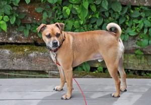 Puggle - Beagle Mops Mischling