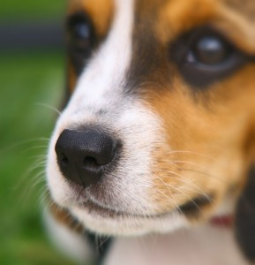 Charakter Beagle Hündin oder Beagle Rüde