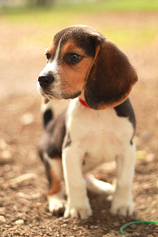 Gesunden Beagle Welpen vom Beagle Züchter