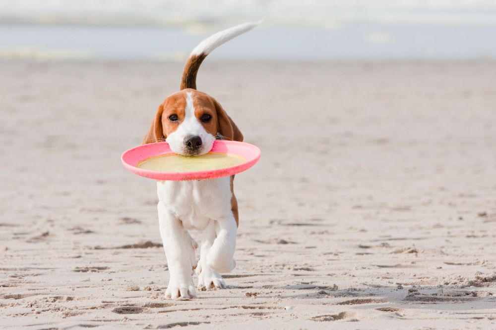 Beagle am Hundestrand