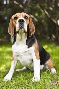 Beagle in Not