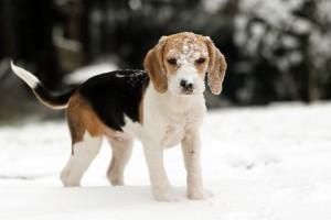 Beagle vom Züchter kaufen