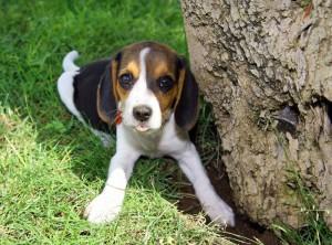 Den Garten für den Beagle welpensicher machen