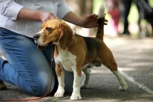 Hunderasse Beagle