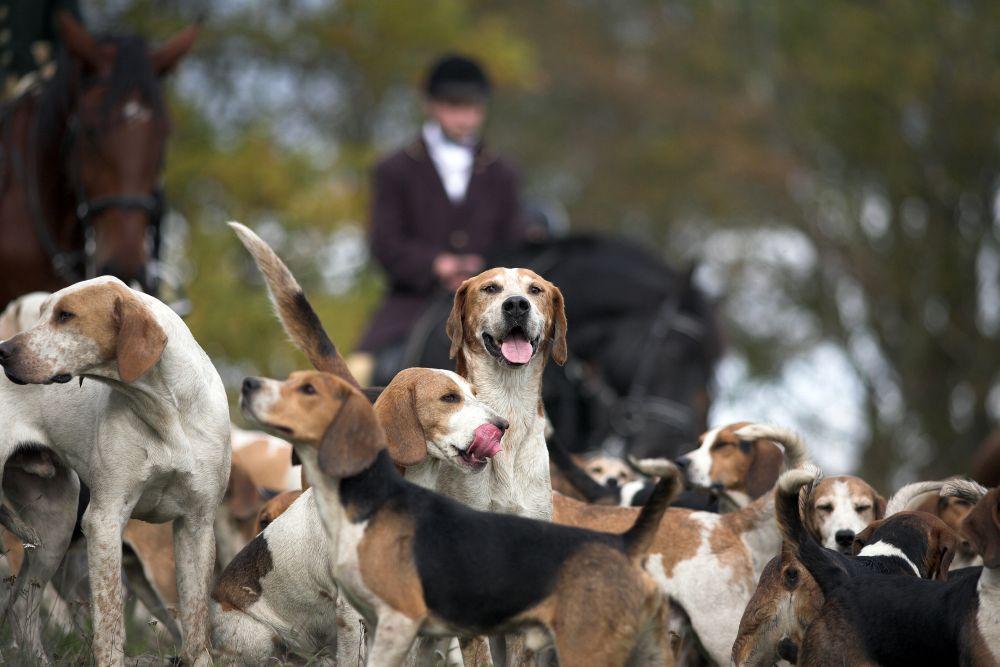Jagd mit Beagle