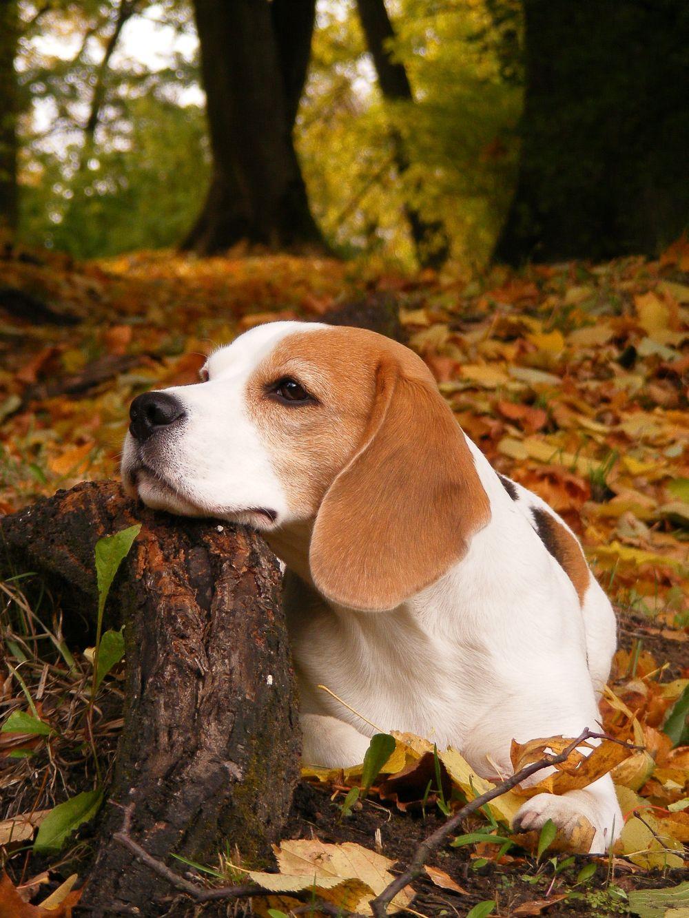 Ohrenentzündung Beagle