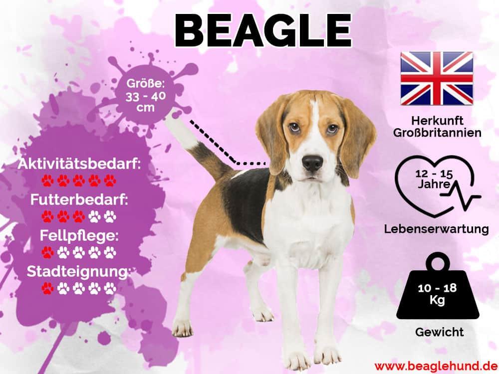 Beagle Infografik