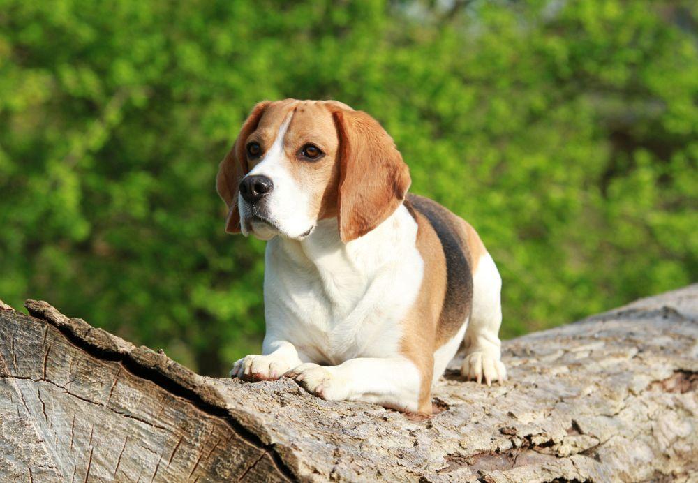 Beagle beschäftigen im Wald