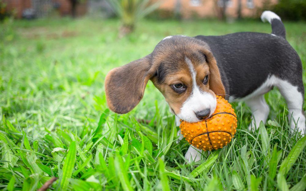 Beagle Welpen beschäftigen: