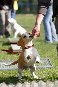 Belohnung Beagle Beschäftigung