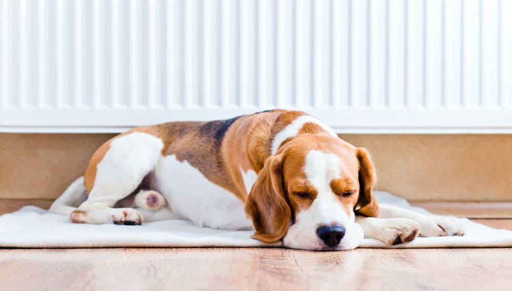 Ein Beagle wird im Alter ruhiger und benötigt nicht mehr so viel Bewegung.
