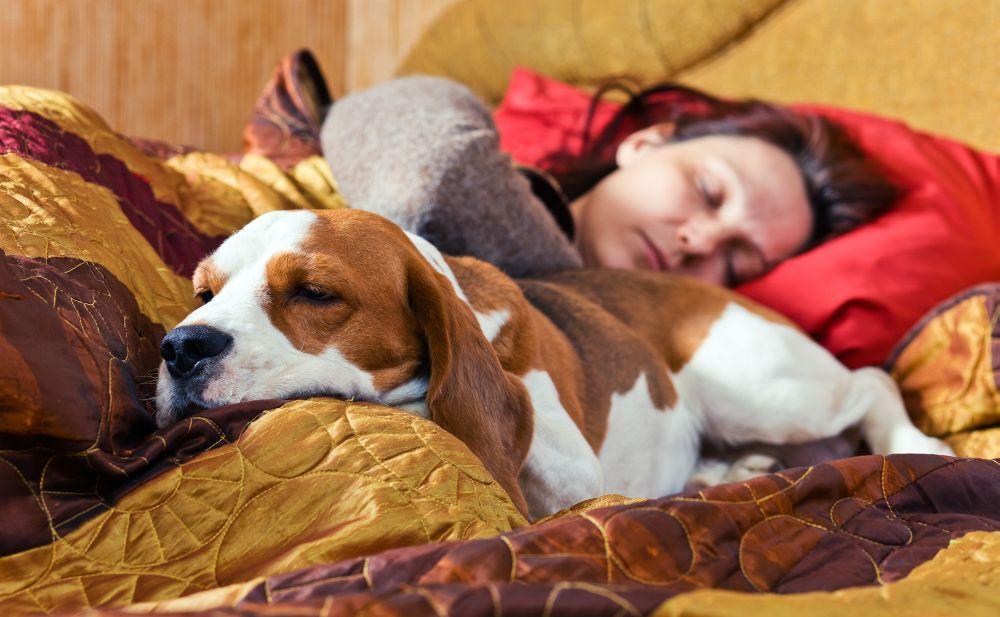 Beagle Lebenserwartung. Wie lange lebt ein Beagle?