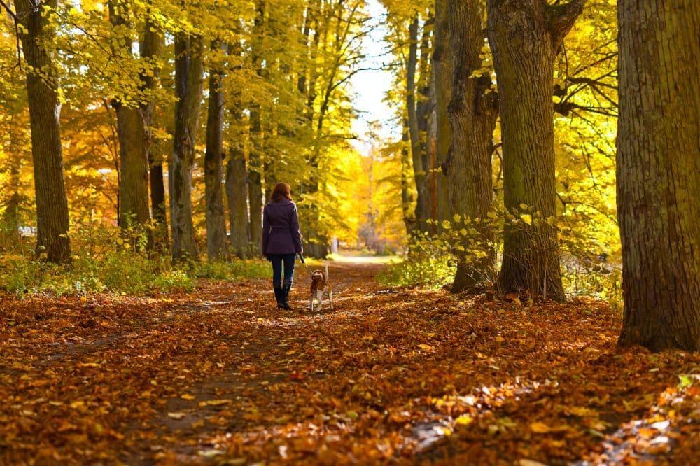 Beagle und Frau machen Spaziergang im Wald