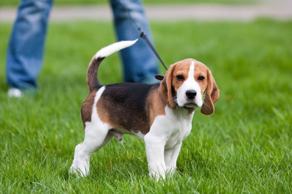 Süßer Beagle Welpe schaut in die Kamera