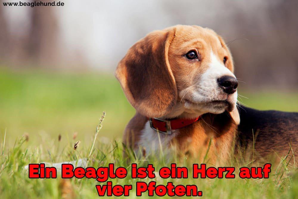 Ein Beagle auf Rasen