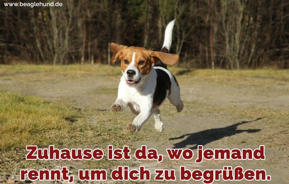 Ein Beagle läuft in den Park