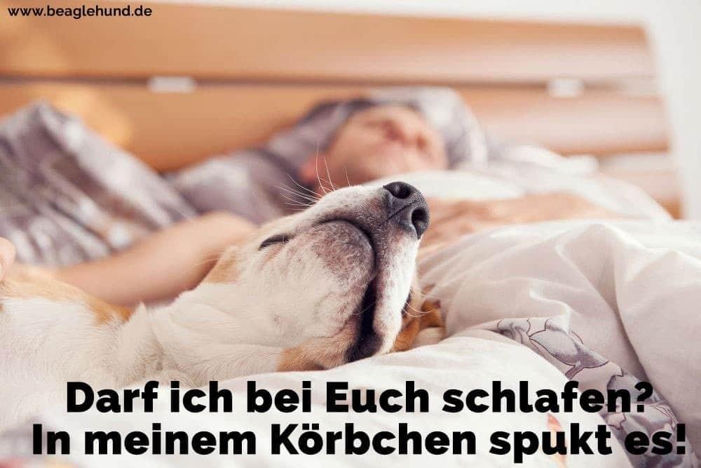 Ein Mann schläft mit seinem Beagle im Bett