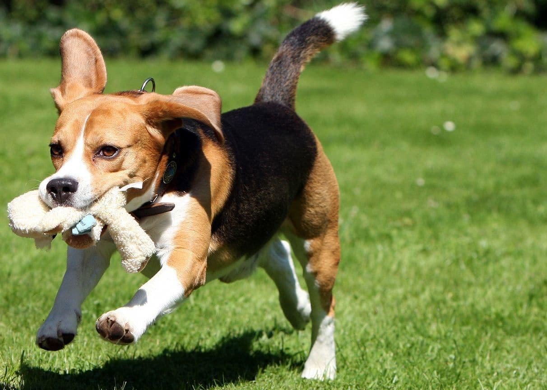 Beagle auf Rasen mit Stofftier