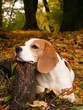 Beagle lying on the ground and resting its head on the tree root